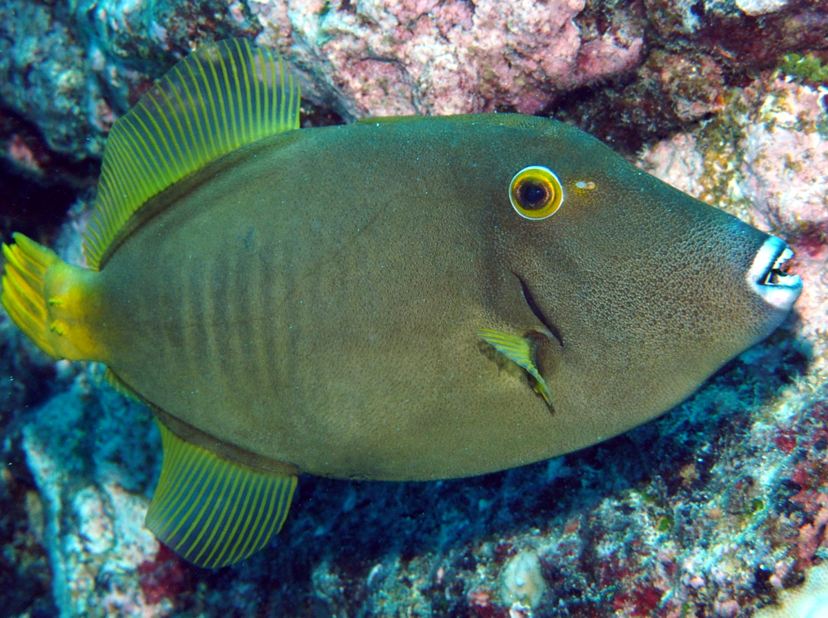 Yelloweye Filefish - Cantherhines dumerilii