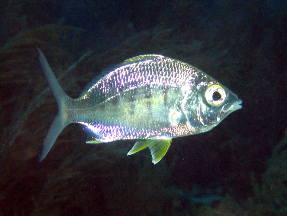Yellowfin Mojarra - Gerres cinereus