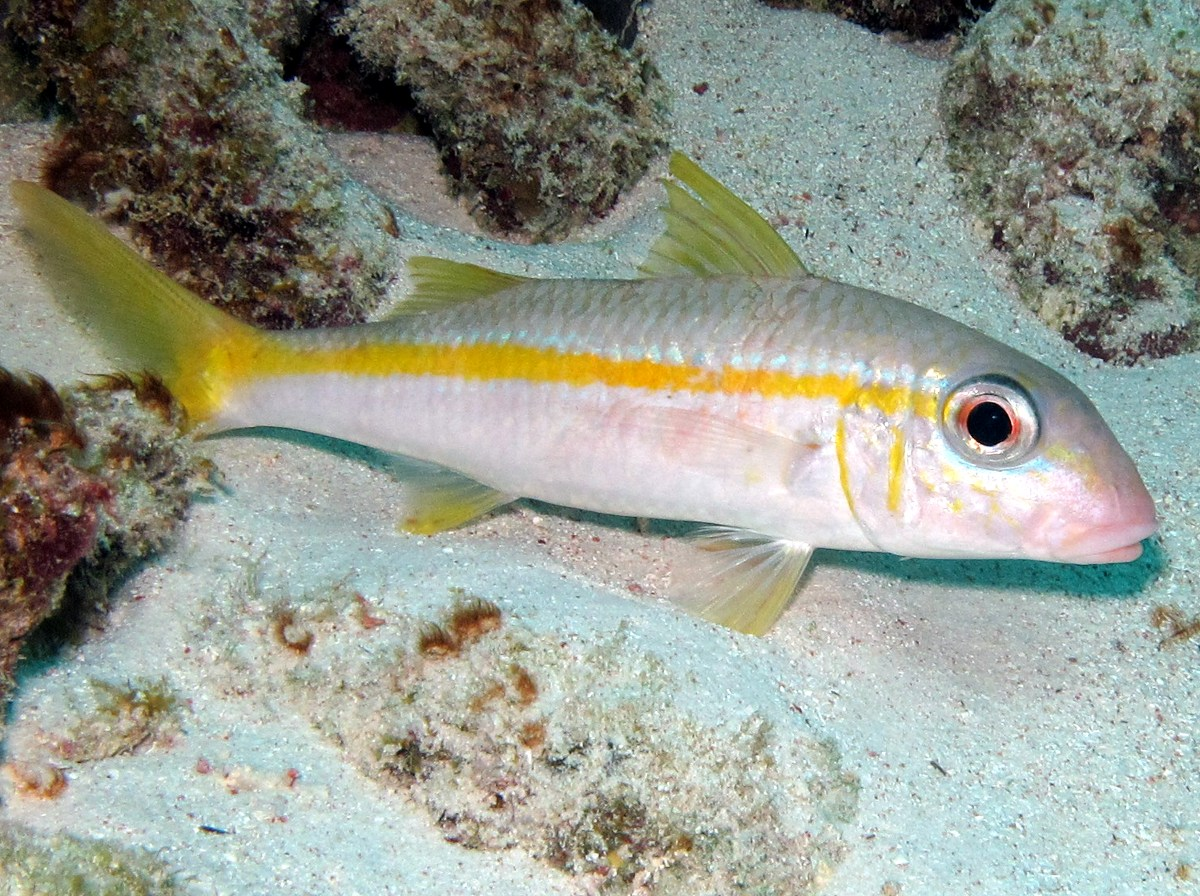 Yellow Goatfish - Mulloidichthys martinicus