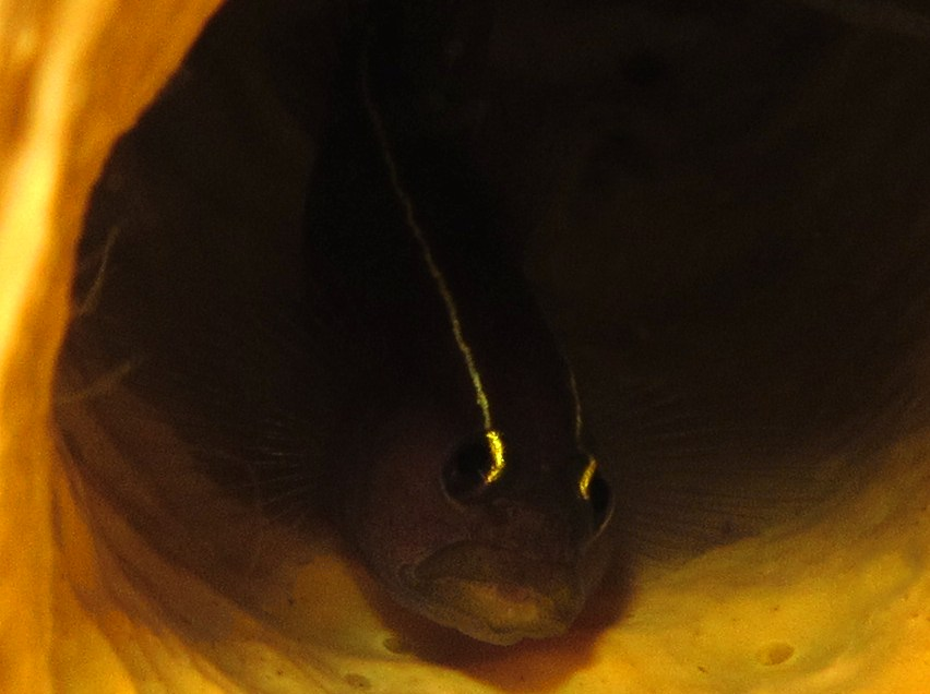 Yellowline Goby - Elacatinus horsti