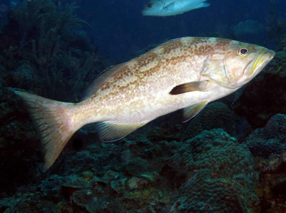 Yellowmouth Grouper - Mycteroperca interstitialis - Nassau ...