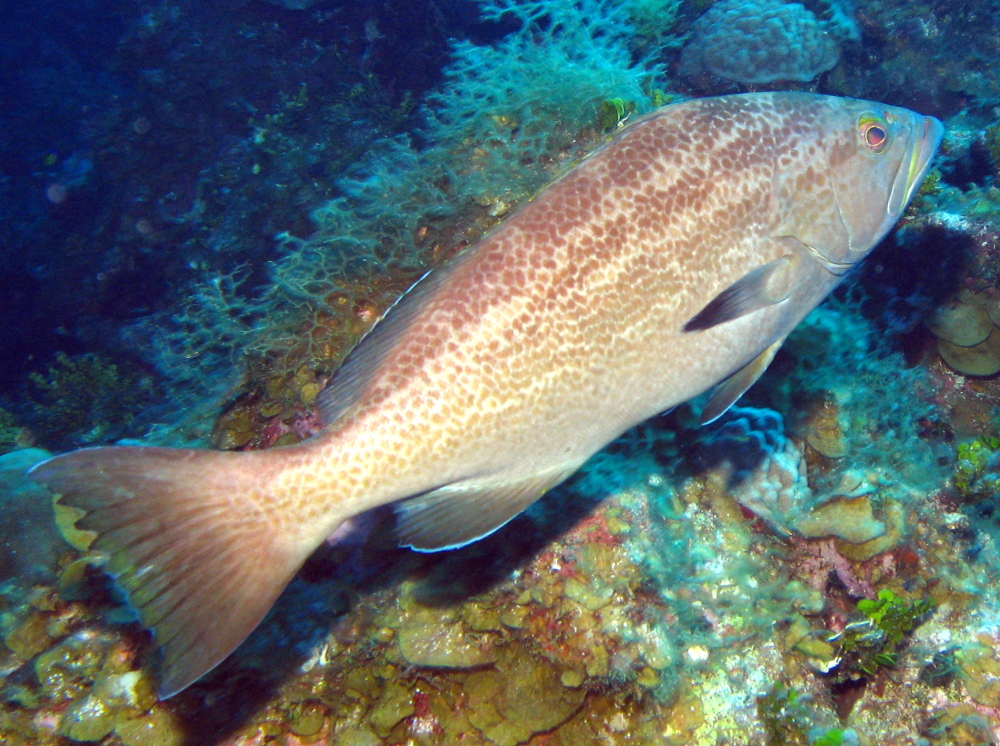 Yellowmouth Grouper - Mycteroperca interstitialis - Grand ...