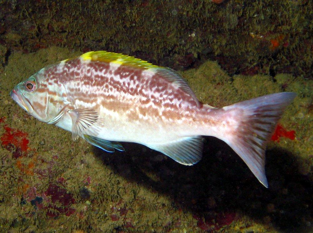 Yellowmouth Grouper - Intermediate Phase - Mycteroperca ...Yellowmouth Grouper