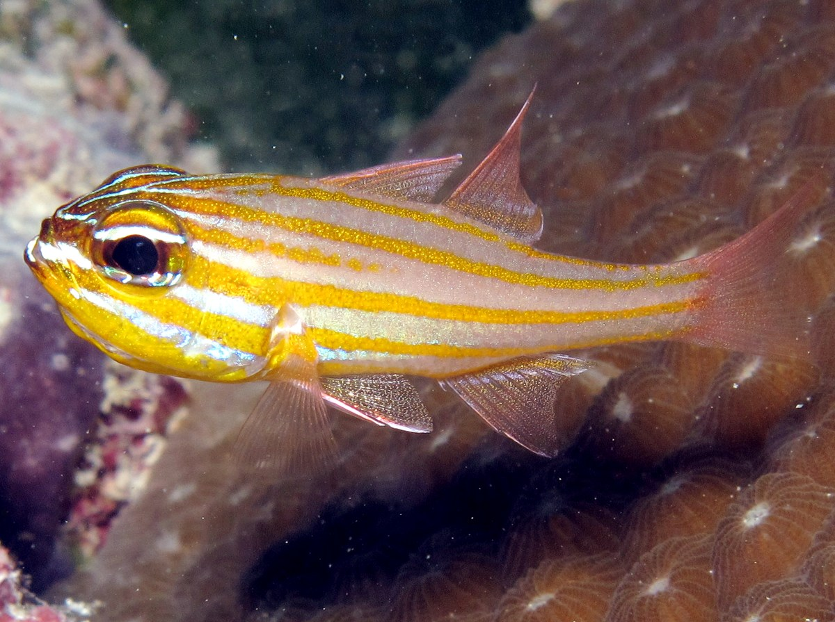 Yellowstriped Cardinalfish - Ostorhinchus cyanosoma - Palau