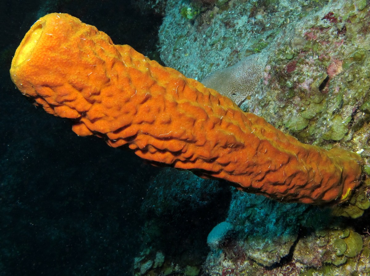 Yellow Tube Sponge - Aplysina fistularis